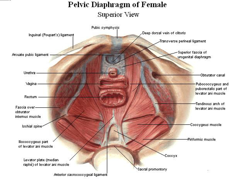 pelvic-diaphragm-female