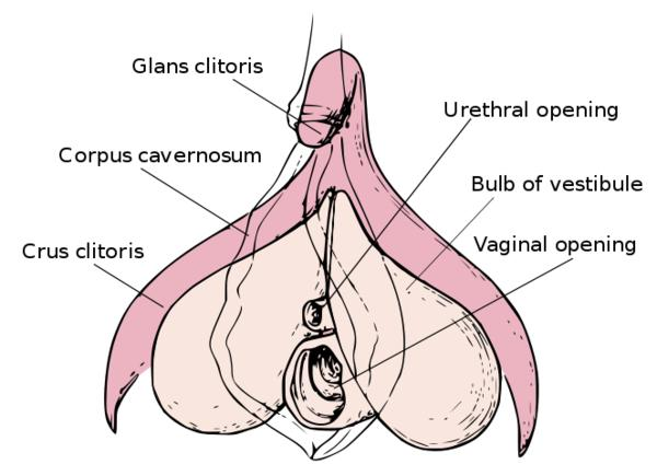 internal-clitoris